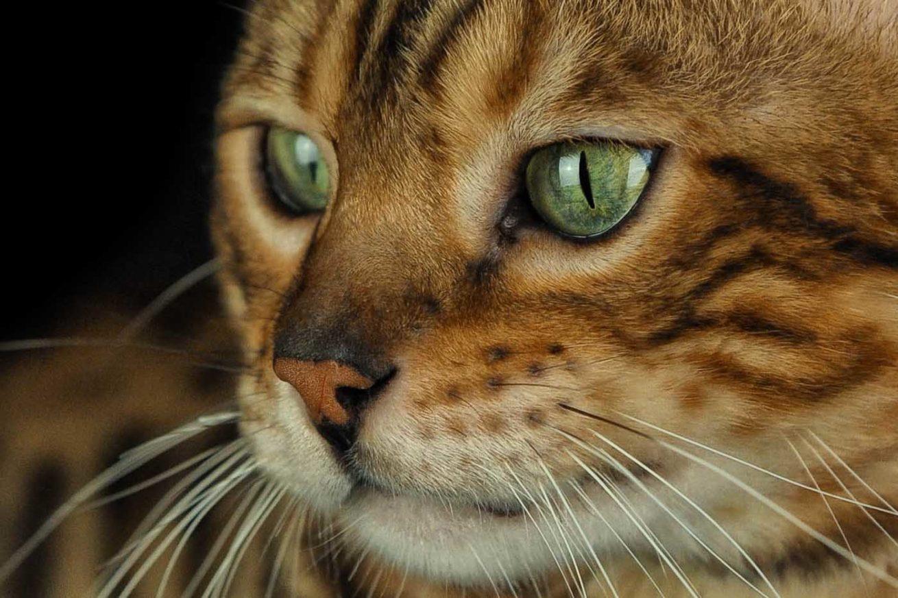 rocchini gatti fotografia bengala