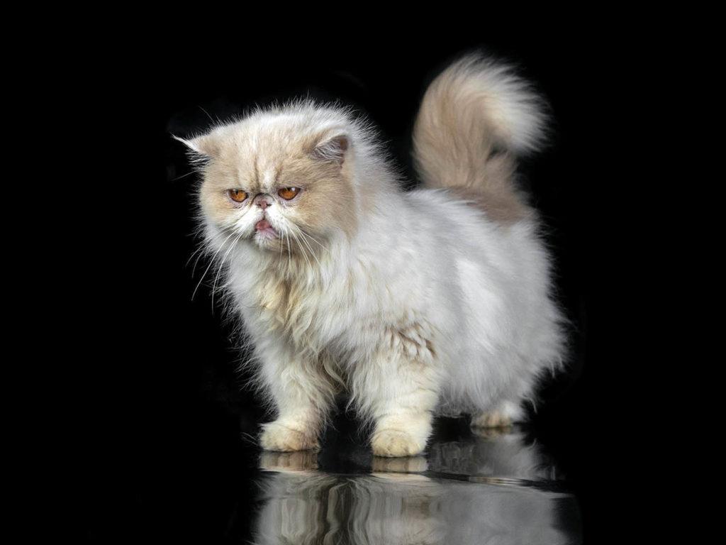 gatto persiano riflesso